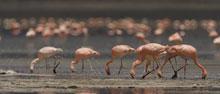 lesser_flamingos_lowres