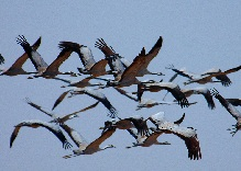 Migratory Birds in Flight - Common Cranes © Jussi Mononen