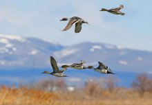 Northern Pintails ©USFWS