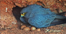 Sooty Falcon (adult) at nest. Copyright by INTEWO | World Habitat Society GmbH