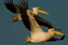 White Pelican. Photo: UNEP/AEWA/Sergey Dereliev