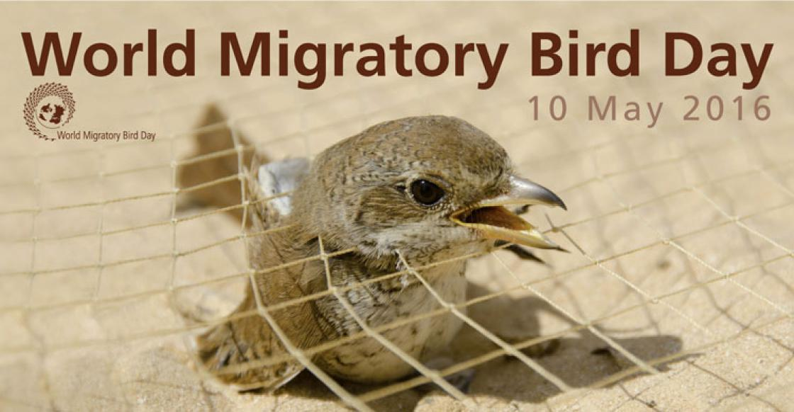 World Migratory Bird Day 2016