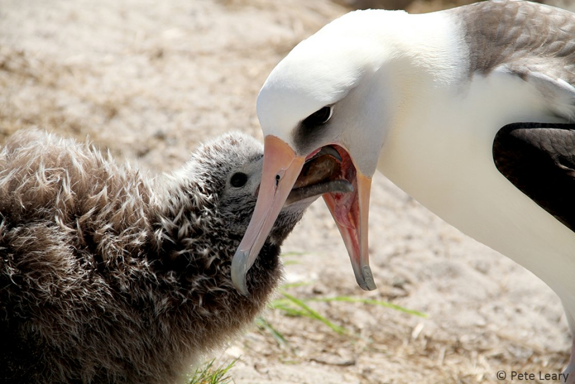 A Laysan Albatross feeds its chick, photograph by Pete Leary