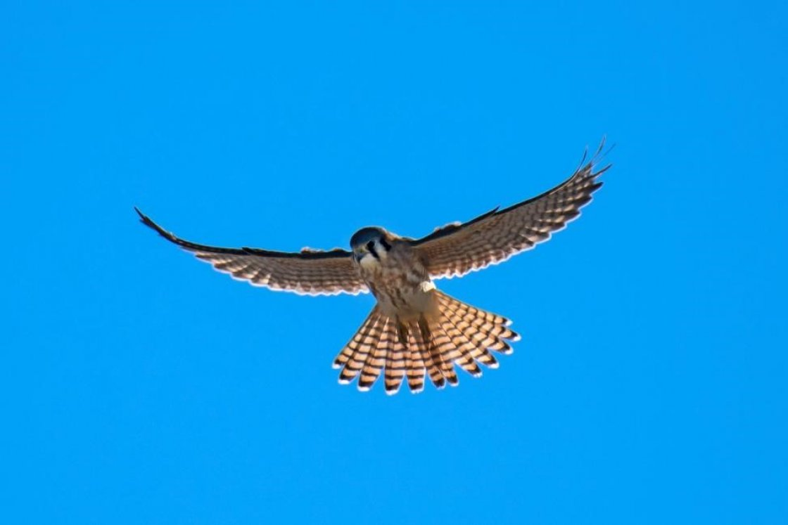 American Kestrel © Idaho Department of Parks and Recreation