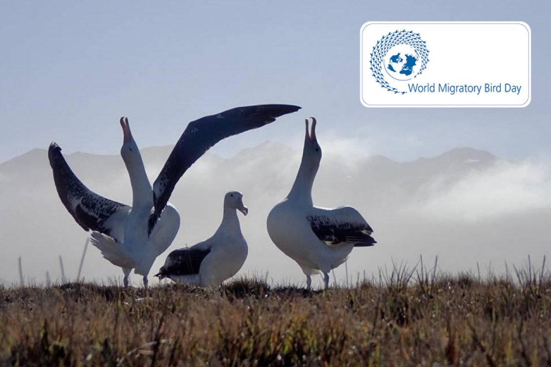 Albatrosses © Michelle Risi