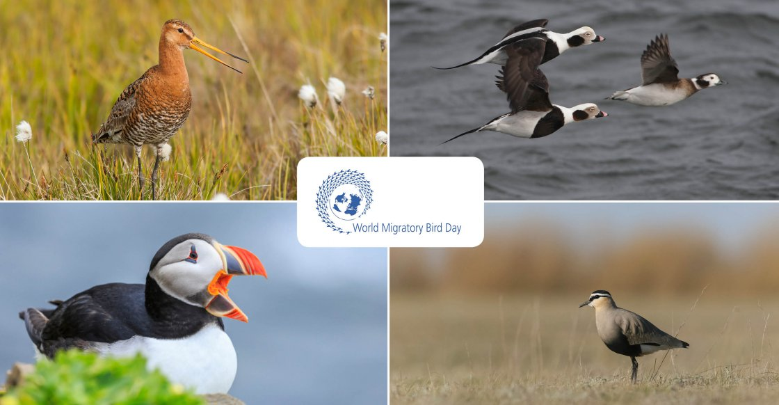 Black-tailed Godwit (Limosa limosa) © Tomas Aarvak; Long-tailed Ducks (Clangula hyemalis) © Hugh Harrop; Atlantic Puffin (Fratercula arctica) © Sergey Dereliev, www.dereliev-photography.org; Social Lapwing (Vanellus gregarius) © Maxim Koshkin
